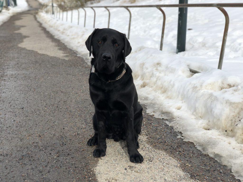 Svart labrador sitter på en snöig gångväg. Hunden har inget koppel men en rastklocka om halsen.
