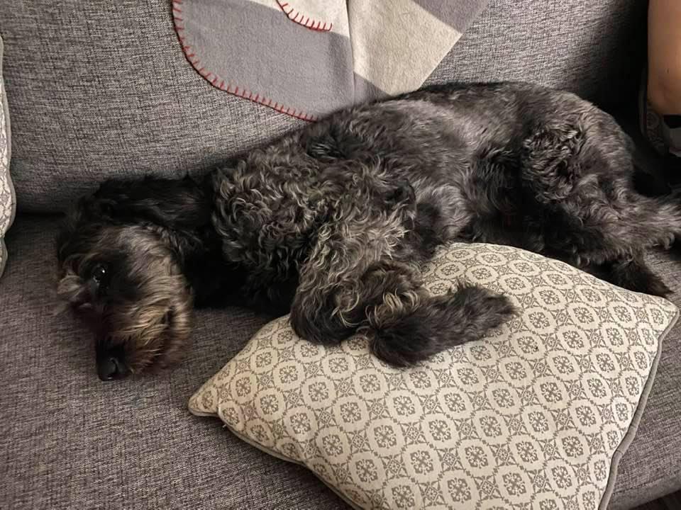 En gråmelerad labradoodle ligger utsträckt i en soffa.
